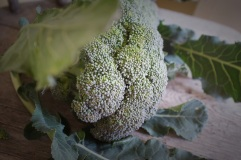 Fresh from the garden broccoli florets.