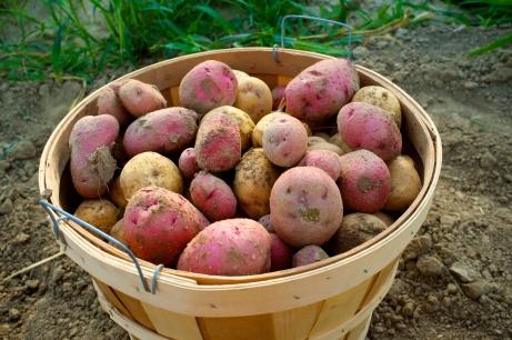 Freshly dug potatoes.