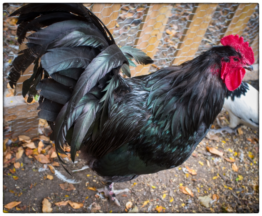 Rusty the Rooster